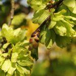 elm-leaf-beetle-treatment_mulch for sale
