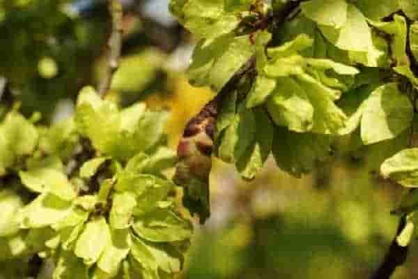 elm-leaf-beetle-treatment-min